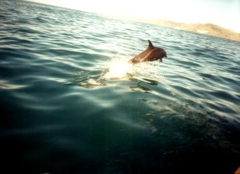 photo of dolphin leaping ahead of boat Kaikoura New Zealand - 2003
