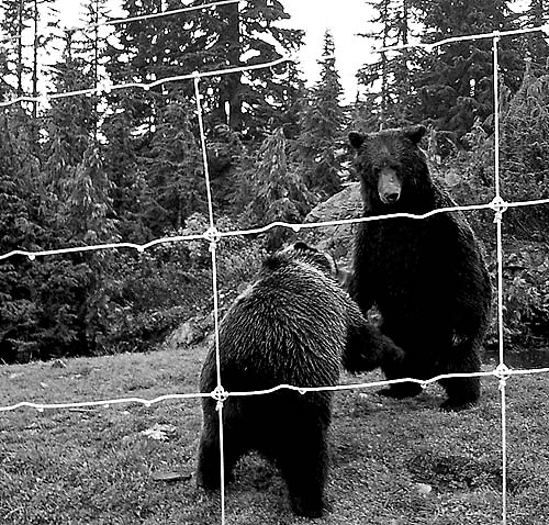 Travel Photo Canada 2003 by David J Rodger - two grizzly bears play fighting
