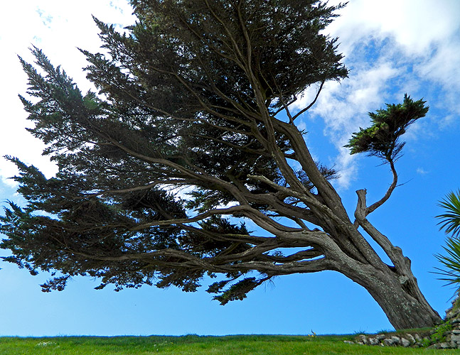 a windswept tree on blustery Burgh Island, Devon