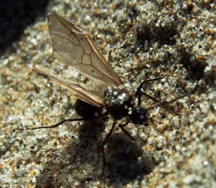 flying-ant
