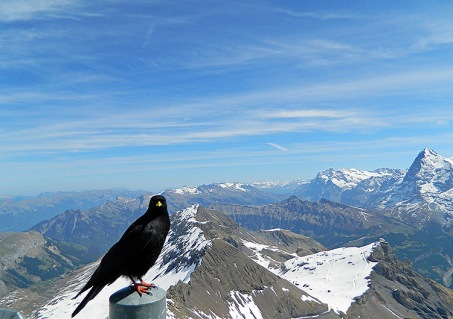 Hello - black bird wonders who else is at top of world