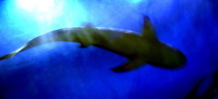 Shark by David J Rodger