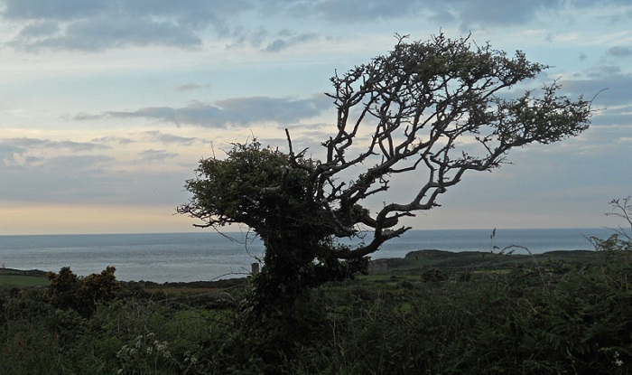 Wind swept tree Strumble Head Pembrokeshire Wales
