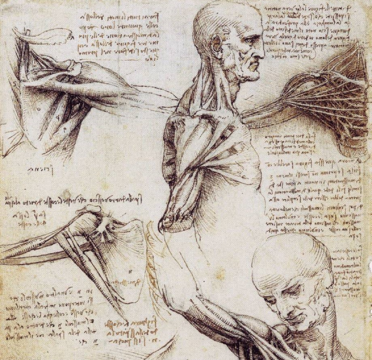 leonardo-da-vinci-shoulder-and-neck-1