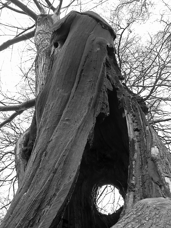 Black and white image of incredible twisted tree