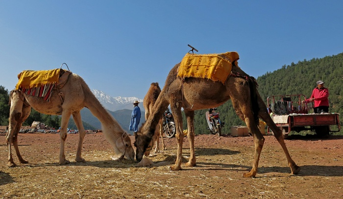 Morocco - foothills of Atlas mountains - camels and view of snow capped mountains