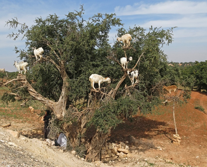 Morocco on the road to Essaouira  - goats in a tree
