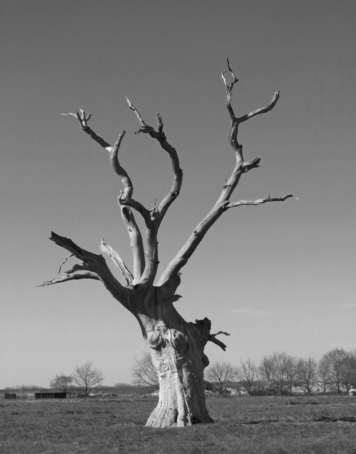 Petrified oak tree Part of the Dengie, Mundon, Essex, The oak forest in Mundon is first mentioned in the Domesday book - photo David J Rodger